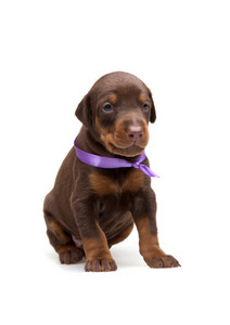 Doberman puppy in violet ribbon