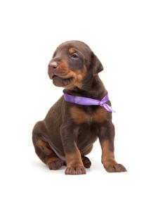 Doberman puppy in violet ribbon