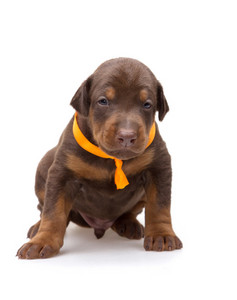 Doberman puppy in yellow ribbon