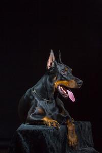 Black dog face