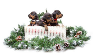 Group of dobermann puppies in box on fur tree