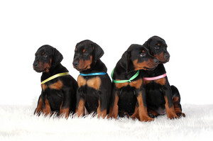 Group of dobermann puppies