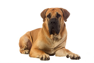 Rare breed South African boerboel posing in studio.