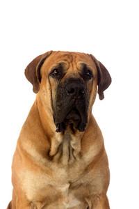 Rare breed South African boerboel posing in studio.