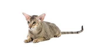 Purebred cute siamese cat lying studio shot