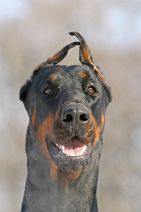 Dobermann face