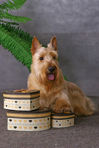 Scottish terrier and some gift boxes