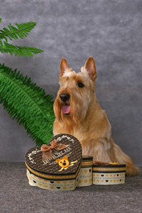 Scottish terrier and gift boxes
