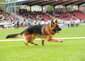 Happy german shepherd playing on stadium