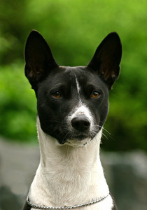 The Black Basenji portrate