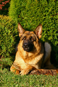 Head of a dog of breed a German shepherd sitting in multi-coloured bushes