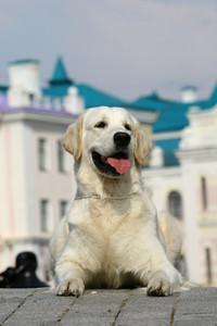 White dog lying