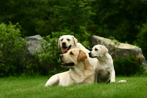 Three white dogs
