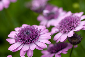 Purple Flowers Macro