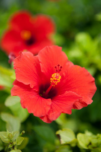Bermuda Red Hibiscus Flower