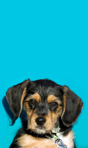 A an adorable puppy isolated over a blue background with copyspace.