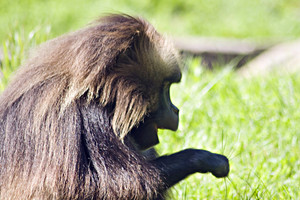 A baboon grazing in a green field by himself.