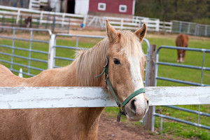A beautiful brown horse standing by the white fence.