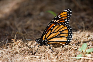 A beautiful monarch butterfly.  Shallow depth of field.
