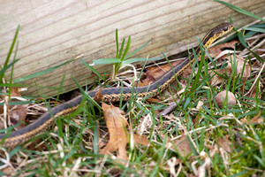 A black and yellow North American Garter snake slithering through the green grass.  Shallow depth of field.