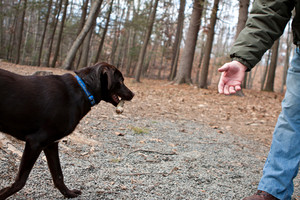 A brown chocolate laborador retriever brings a stick back to his owner.