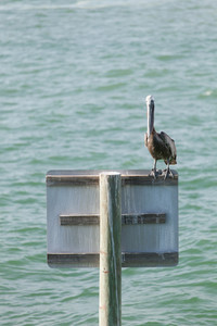 A brown Pelican bird posing near the public pier in Clearwater Florida.