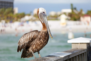 A brown Pelican bird posing on the railing of the public pier in Clearwater Florida.