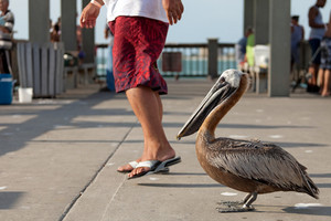 A brown Pelican bird standing very close to people passing by him on the public fishing pier in Clearwater Florida probably waiting for free food and handouts.