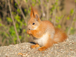 A Brown Squirrel Eating Nuts