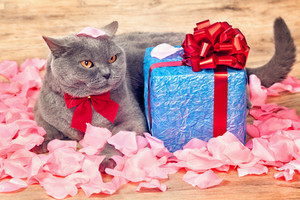 A cat lying on rose petals near a blue gift with a red ribbon with big bow