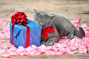 A cat lying on the back on rose petals near a blue gift with a red ribbon with big bow