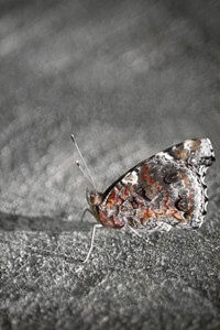 A closeup of a beautiful butterfly with selective color.