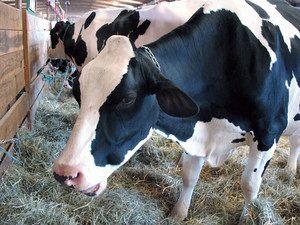 A closeup of a dairy cow eating hay in the barn - chewing his cud.