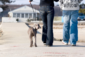 A couple walks a cute weimaraner puppy at the beach.