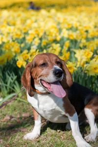 A cute beagle dog sitting near the field of yellow daffodils in the spring time.