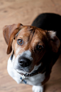 A cute beagle dog sitting on the wood floor indoors.  Shallow depth of field.