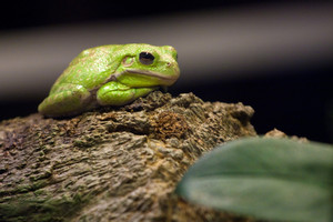A cute little slimy green tree frog sitting on a log.  Shallow depth of field.