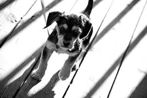 A cute mixed breed mutt puppy in black and white.  Shallow depth of field.