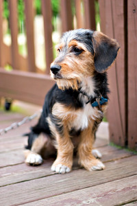 A cute mixed breed puppy laying on the deck. The dog is half beagle and half yorkshire terrier. Shallow depth of field.
