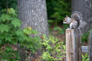 A cute new england grey squirrel eating while sitting on top of the fence post.