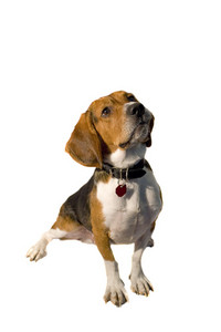 A cute purebred beagle isolated over white.