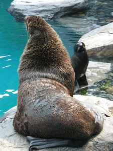 A cute seal and a large sea lion hanging out together.