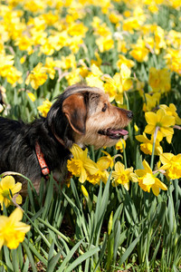 A cute terrier mix breed pup walking through the field of yellow daffodils in the spring time.