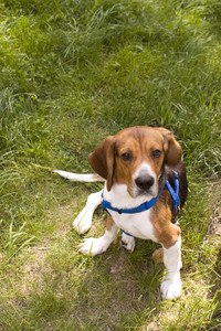 A cute young beagle puppy sitting funny in the grass.