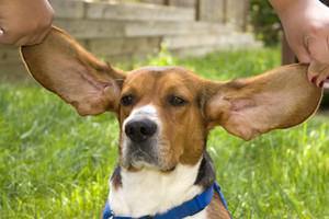 A cute young beagle puppy with huge floopy ears