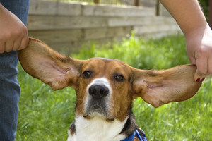 A cute young beagle puppy with huge floopy ears.