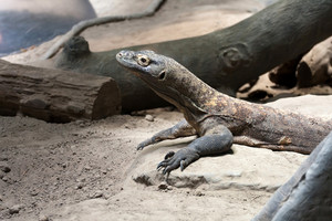 A dangerous predator the Komodo Dragon reptile waiting patiently on its prey.
