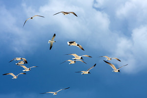 A flock of Caribbean seagulls flying over a  blue sky.