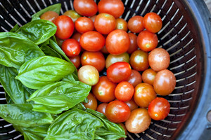 A full colander of freshly picked and vine ripened grape tomatoes along with some green Italian basil. Shallow depth of field.