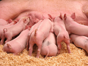 A group of hungry piglets fighting to get their fair share of lunch.